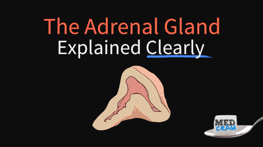 adrenal gland (cortex) explained clearly