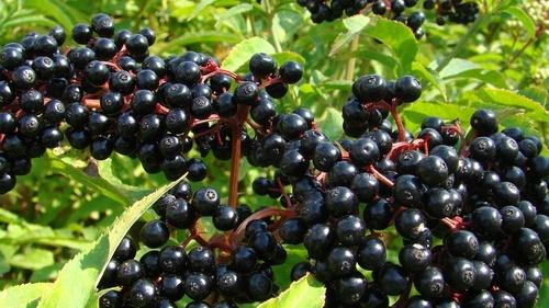 Elderberry and the Cytokine Storm