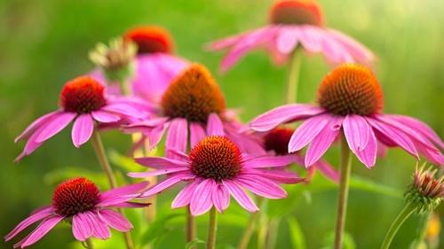 Ravimtaimed aiakujunduses - kuidas neid kasutada kauni aia loomisel?